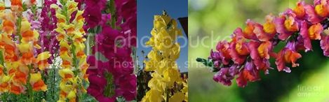  photo Snapdragons-horz_zps46ce0c19.jpg